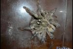 Vtáčkare párenie_05